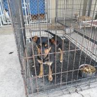 Terrier (Unknown Type, Small) Mix Dog for adoption in Opelousas, Louisiana - Kim