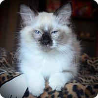 Adopt A Pet :: Merlin 6 - Austin, TX