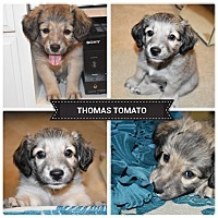 Adopt A Pet :: thomas tomato Adoption Pending - Bakersfield, CA