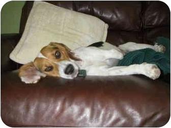 Beagle Dog for adoption in Buffalo, New York - Buffy: three legged sweetie