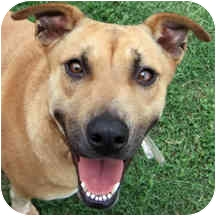 Labrador Retriever/German Shepherd Dog Mix Dog for adoption in Houston, Texas - Blaze