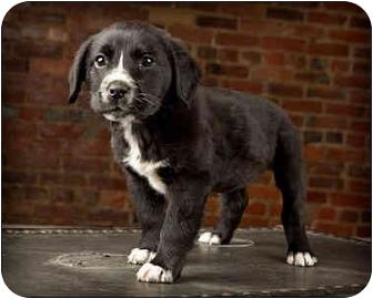 Labrador Retriever Mix Puppy for adoption in Owensboro, Kentucky - Miracle