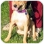 Photo 2 - Beagle/Labrador Retriever Mix Dog for adoption in San Pedro, California - Blondie