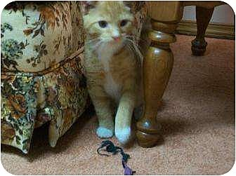 Domestic Shorthair Cat for adoption in Watsontown, Pennsylvania - Bert  (and Bertie)