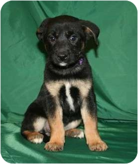 Rottweiler/Shar Pei Mix Puppy for adoption in Westminster, Colorado - Beauty