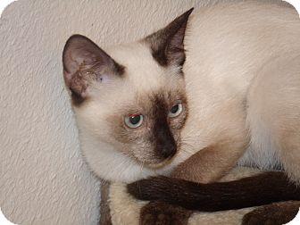 Siamese Kitten for adoption in Scottsdale, Arizona - Pi
