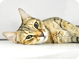 Domestic Shorthair Cat for adoption in Bradenton, Florida - Sweetie Pie