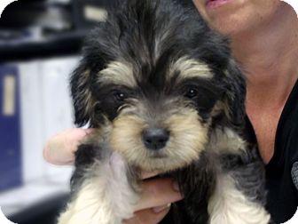 Shih Tzu/Yorkie, Yorkshire Terrier Mix Puppy for adoption in Kokomo, Indiana - TRiXiE
