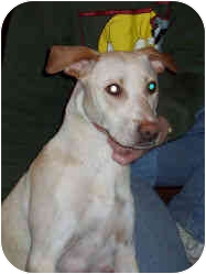 Labrador Retriever/Pointer Mix Puppy for adoption in Blackstone, Virginia - CeeCee's Puppies