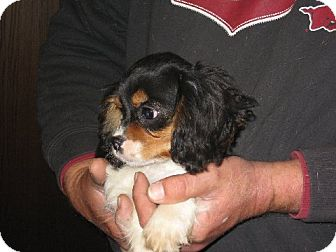 Cavalier King Charles Spaniel Puppy for adoption in Salem, New Hampshire - Olivia