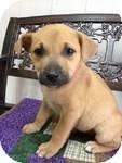 Labrador Retriever/Shepherd (Unknown Type) Mix Puppy for adoption in East Hartford, Connecticut - Lakota ADOPTION PENDING