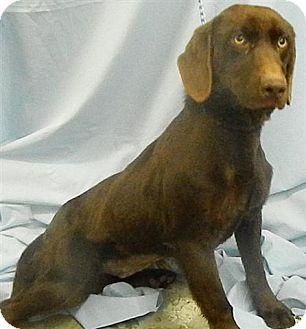 Labrador Retriever Mix Dog for adoption in Dublin, Georgia - Amber