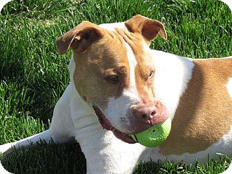 American Pit Bull Terrier Mix Dog for adoption in Meridian, Idaho - Finnegan
