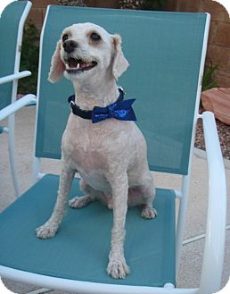 Poodle (Miniature)/Terrier (Unknown Type, Small) Mix Dog for adoption in Las Vegas, Nevada - Tiger
