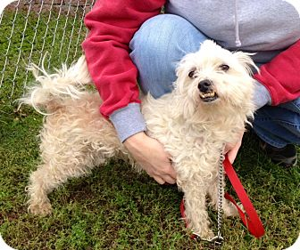 Poodle (Miniature) Mix Dog for adoption in Indianola, Iowa - Timmy