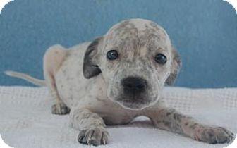 Pointer Mix Puppy for adoption in Bradenton, Florida - Tyrion
