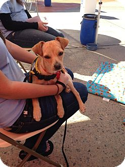 Chihuahua Mix Dog for adoption in Mission Viejo, California - Miles