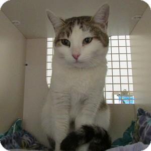 Domestic Shorthair Cat for adoption in Gilbert, Arizona - Josey