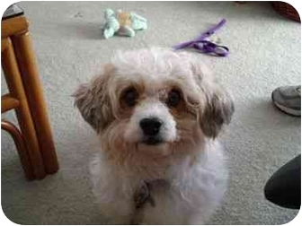 Bichon Frise/King Charles Spaniel Mix Dog for adoption in La Costa, California - Jenna
