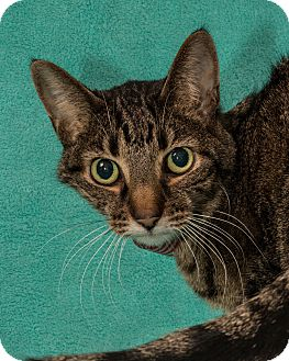 Domestic Shorthair Cat for adoption in Martinsville, Indiana - Maggie