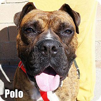 Boxer Mix Dog for adoption in Encino, California - Polo