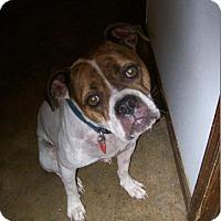 Adopt A Pet :: Bitzi Boxer - Alexandria, VA