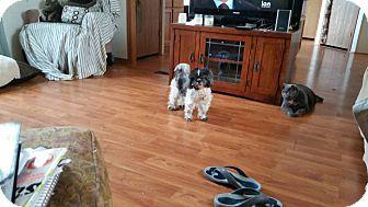 Shih Tzu Mix Dog for adoption in Cedar Rapids, Iowa - Suki