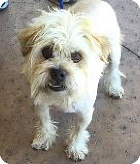 Maltese/Pug Mix Dog for adoption in Las Vegas, Nevada - Sammy