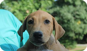 Plott Hound/Labrador Retriever Mix Puppy for adoption in Colonial Heights, Virginia - Bacardi