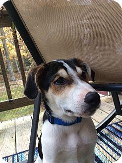 Border Collie Mix Puppy for adoption in Richmond, Virginia - Hans