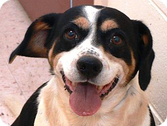 Beagle Mix Dog for adoption in McDonough, Georgia - Porkchop