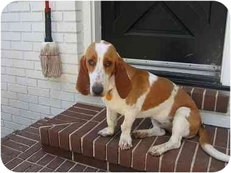 Basset Hound Dog for adoption in Cairo, Georgia - Freddi