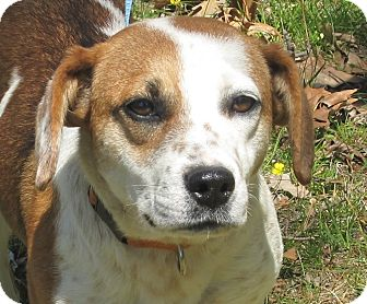 Beagle Mix Dog for adoption in Plainfield, Connecticut - Dolly