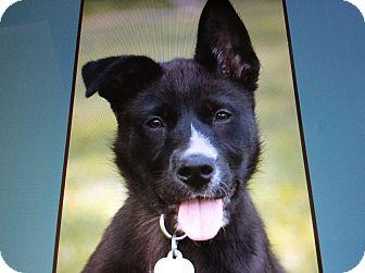 German Shepherd Dog Mix Puppy for adoption in Los Angeles, California - WILLOW VON DRAUSSEN