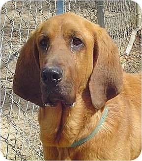 Bloodhound Dog for adoption in Capon Bridge, West Virginia - Sniffy