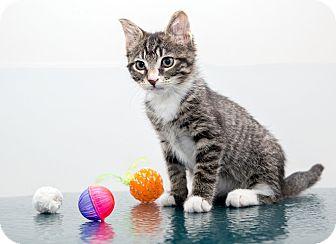 American Shorthair Kitten for adoption in Brooklyn, New York - Hamilton