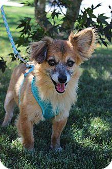 Pomeranian Mix Dog for adoption in Palmyra, New Jersey - Tucker