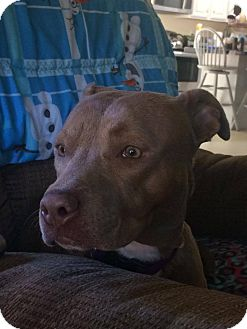 American Pit Bull Terrier Mix Puppy for adoption in Lebanon, Maine - Mocha