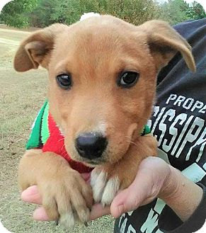 Labrador Retriever/Retriever (Unknown Type) Mix Puppy for adoption in Saratoga Springs, New York - Mikey ~ ADOPTED!