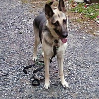 German Shepherd Dog Mix Dog for adoption in oxford, New Jersey - Macy
