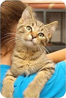 Domestic Shorthair Kitten for adoption in Huntley, Illinois - Aaron