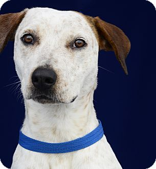 Pointer Mix Dog for adoption in LAFAYETTE, Louisiana - CHERRY