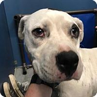 Dalmatian Mix Dog for adoption in Henderson, North Carolina - Maddie