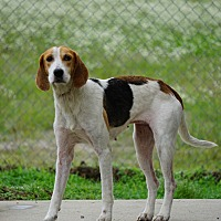 Hound (Unknown Type) Mix Dog for adoption in Stony Creek, Virginia - Fiona