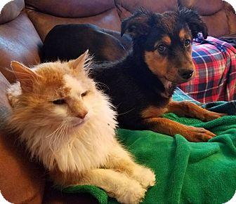 German Shepherd Dog Mix Puppy for adoption in Aurora, Colorado - Maureen