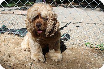 Cocker Spaniel Mix Dog for adoption in Muskegon, Michigan - Teddy