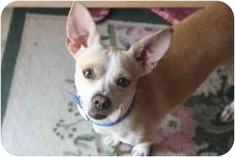 Chihuahua Mix Dog for adoption in San Diego, California - Sammy