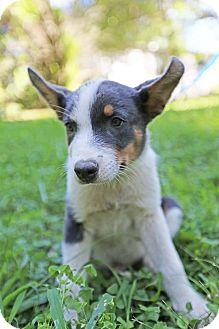 Australian Shepherd/Corgi Mix Puppy for adoption in Scranton, Pennsylvania - Pewter