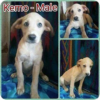 Labrador Retriever Mix Puppy for adoption in East Hartford, Connecticut - Kemo-pending adoption