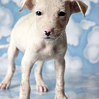 Adopt A Pet :: Zaid - Waldorf, MD